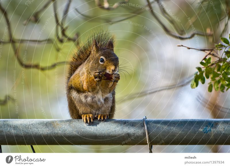 Squirrel Eating on Fence Animal Small Funny Natural Curiosity Cute Wild Brown Appetite Mammal Acorn Delightful blur Bushy claw Living thing Strange fast front