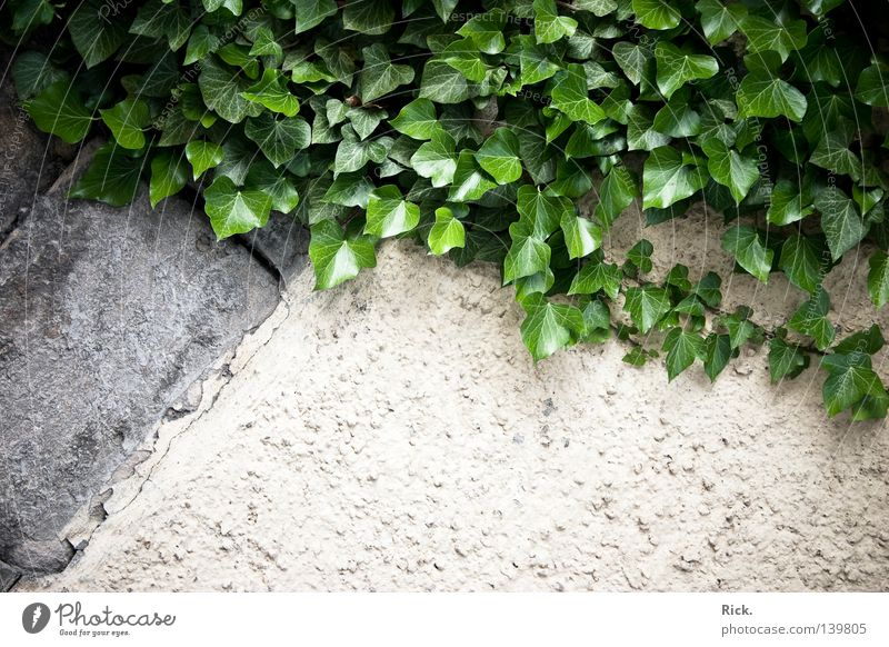 .climbing wall. Mountaineering Climbing Free-climbing Wall (building) Plaster House (Residential Structure) Derelict Old Rustic Ivy Creeper Plant Leaf Green