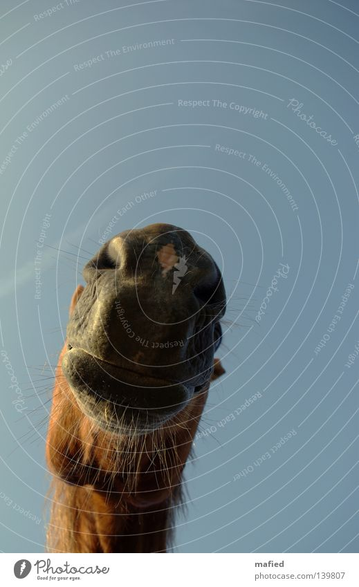 Sky Blue Red Gray Brown Horse Lips Soft Curiosity Friendliness Contact Odor Breathe Mammal Muzzle Whisker