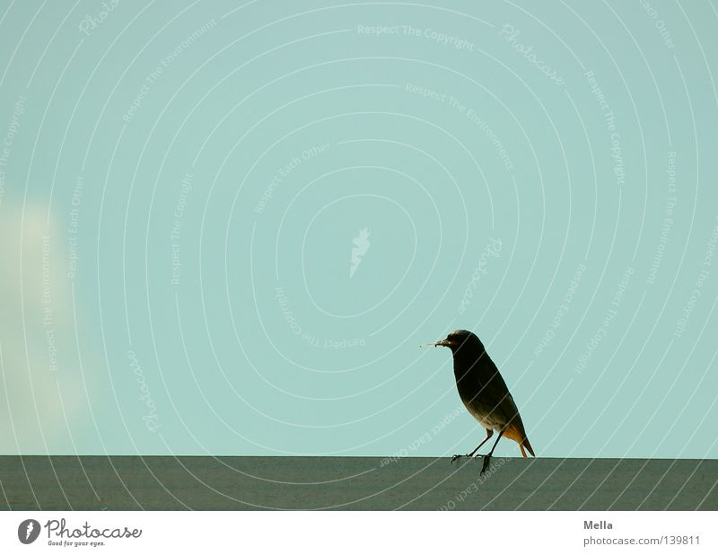 balance Environment Animal Sky Clouds Roof Bird Black redstart 1 Crouch Sit Small Natural Cute Blue Contentment Nature Colour photo Exterior shot Deserted