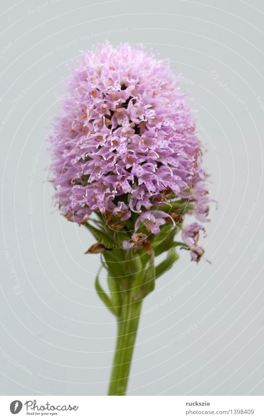 globe-flowered orchid Nature Plant Orchid Wild plant Meadow Free Pink globe-blooded Ophrys globe orchis globosa alpine flower mountain flowers alpine flowers