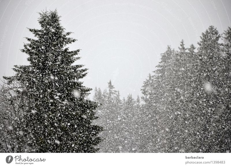 Nature Landscape Joy Winter Forest Environment Snow Gray Moody Snowfall Climate Change Many Fir tree Expectation Black Forest