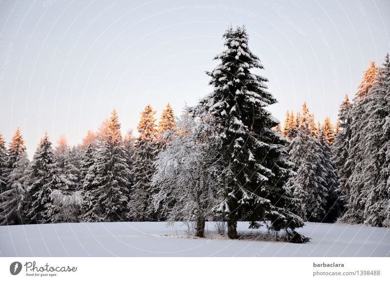 Nature Christmas & Advent Landscape Winter Forest Environment Snow Moody Bright Illuminate Idyll Beginning Climate Fir tree Anticipation Black Forest