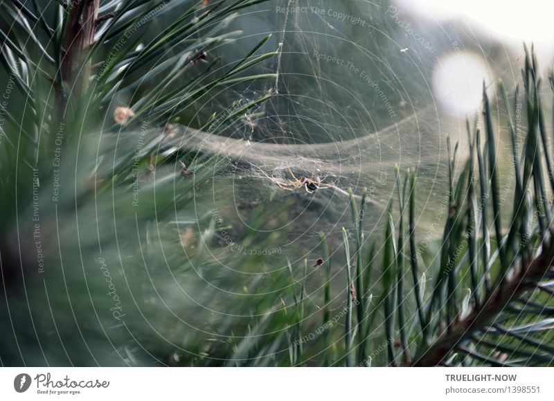 Top secret lethal nets. Nature Plant Beautiful weather Tree Pine Pine needle Forest Animal Wild animal Dead animal Spider Spider's web Build Observe Catch