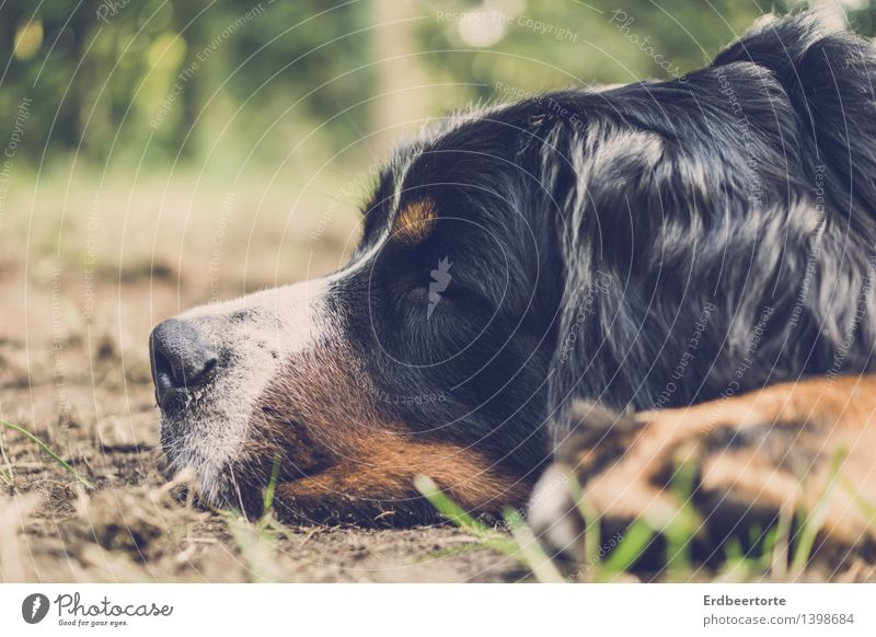 flat Animal Pet Dog 1 Relaxation Sleep Dream Cuddly Soft Indifferent Comfortable Contentment Bernese Mountain Dog Pelt tired Colour photo Subdued colour