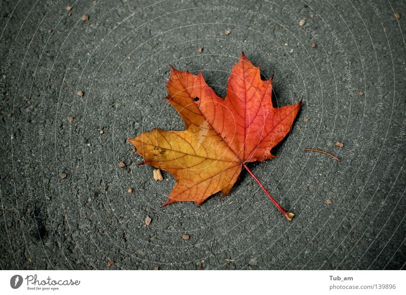 Gestrandet Leaf Colour Autumn Seasons Individual Autumn leaves October Fallen September Limp Autumnal colours Maple leaf