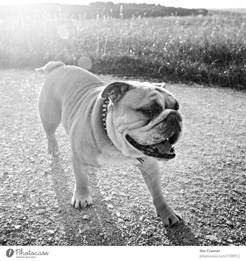 White Sun Summer Joy Black Grass Laughter Dog Stone Lanes & trails Funny Wrinkle Fat Wrinkles Weight Agriculture