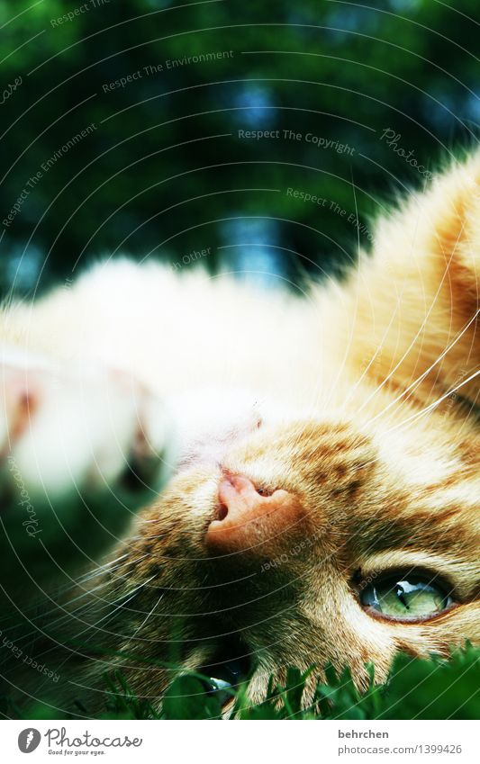Cat Green Beautiful Relaxation Animal Yellow Eyes Lie Dream Contentment To enjoy Observe Soft Nose Pelt Pet