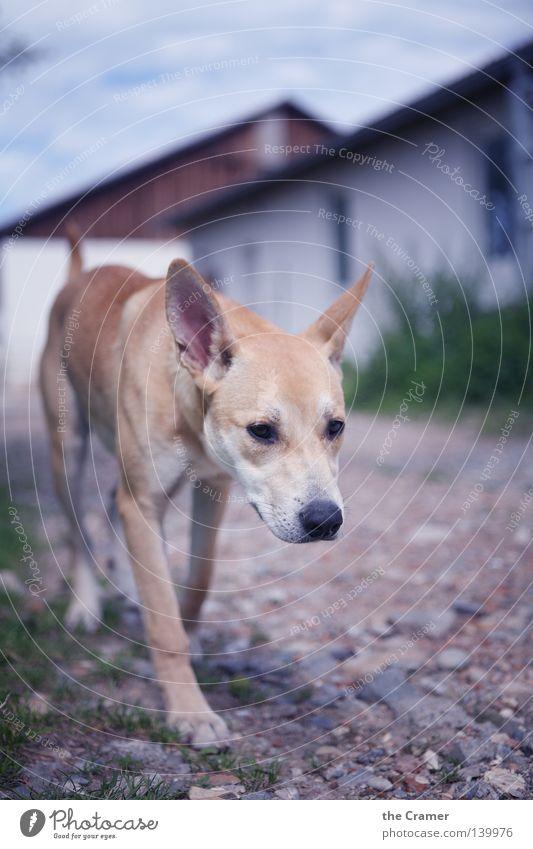 Animal Yellow Dog Stone Lanes & trails Sand Hiking Going Gold Upward Watchfulness Mammal Seating Brash Loyalty Snout