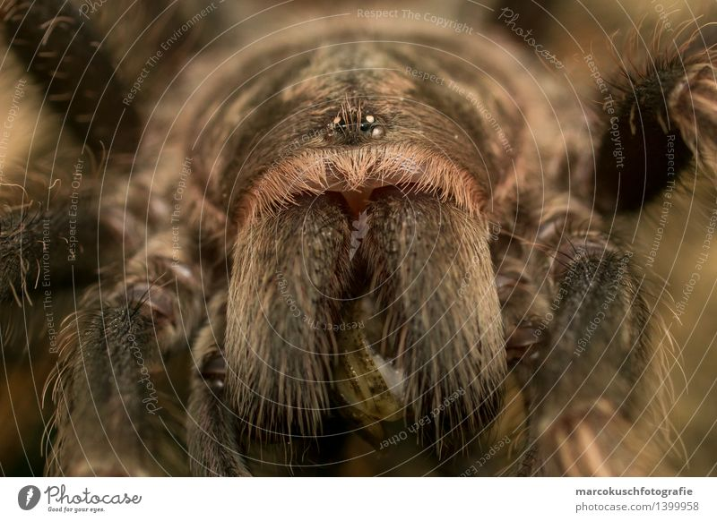Tarantulas Portrait Animal Wild animal Spider Animal face Terrarium 1 Eating Catch To feed Hunting Aggression Exceptional Threat Exotic Brown Fear