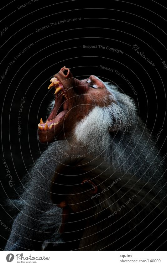 yeah Animal Baboon Scream Yawn Monkeys Apes Mammal Set of teeth Fatigue