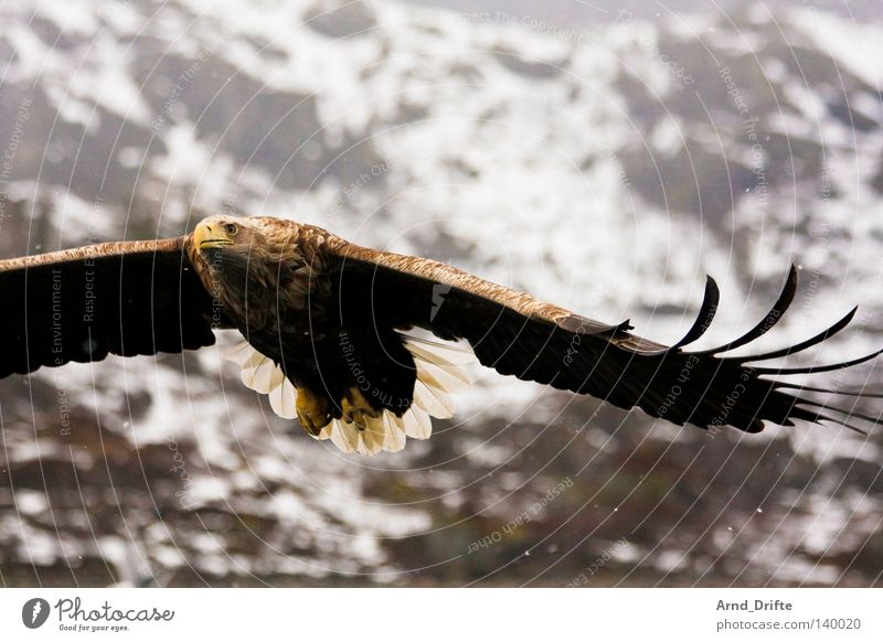 white-tailed eagle Norway Mountain Catch Feather Fjord Flying Wing To feed Bird of prey Large Bright Sky Prey Hunting Cold Force Coast Majestic Ocean