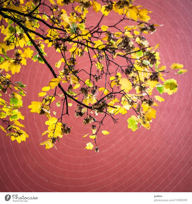 autumn fire. Elegant Work of art Nature Landscape Plant Autumn Tree Leaf Foliage plant Yellow Gold Red Energy Luxury Illuminate Maple tree Maple leaf