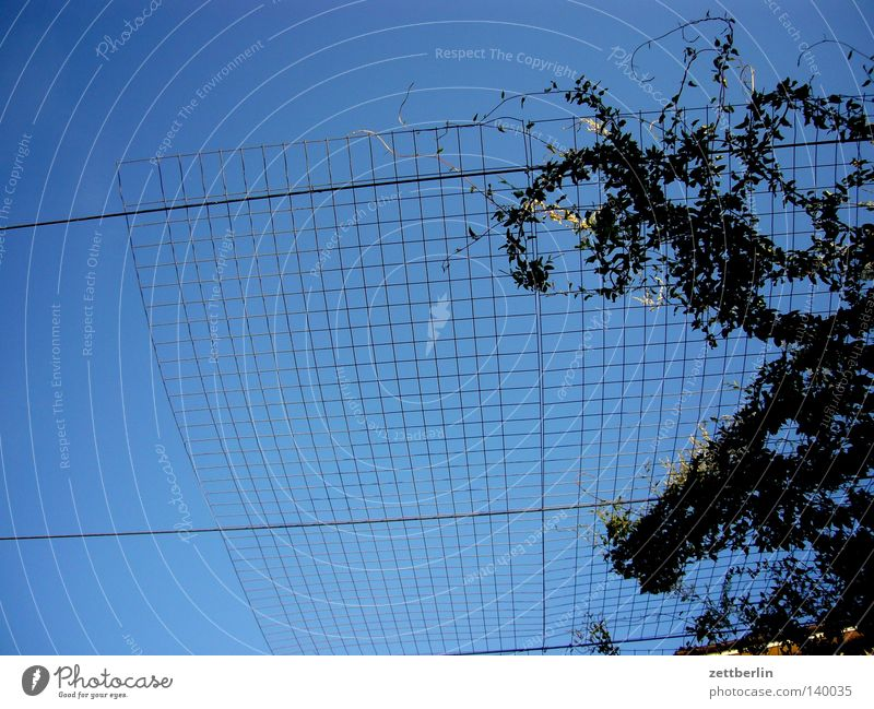 growth Sky Blue Sky blue Grating Tendril Security of supply Hedge Plant Sleeping Beauty Summer Border Cage Bird's cage Partition Detail rank assistance Net Grid