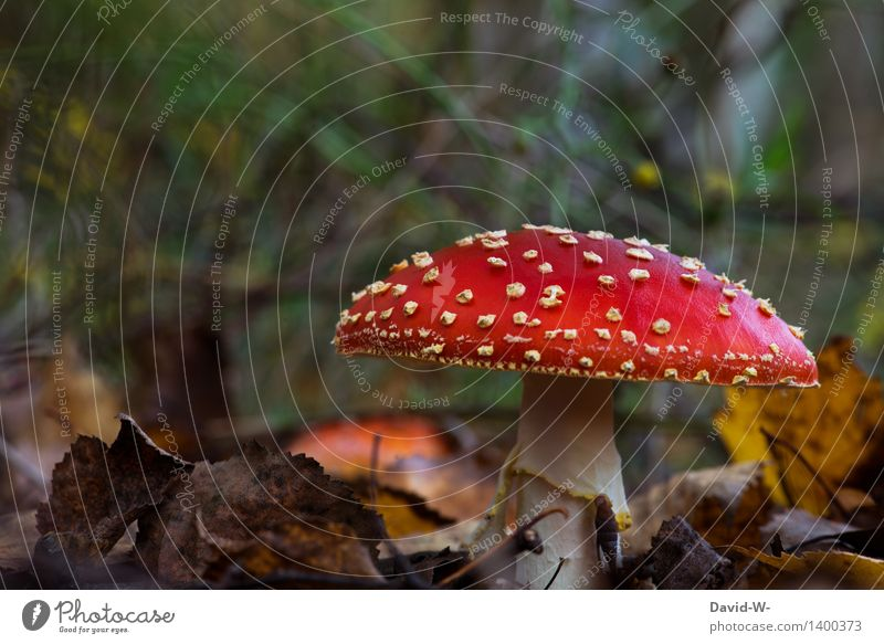 The fly agaric Healthy Trip Hiking Environment Nature Landscape Earth Autumn Beautiful weather Plant Moss Wild plant Exotic Forest Growth Amanita mushroom
