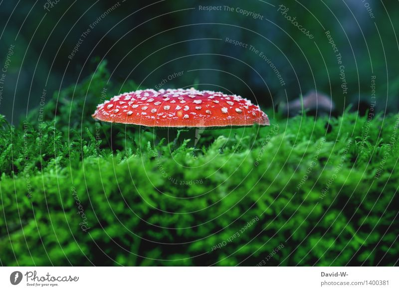 fly agaric Environment Nature Landscape Autumn Climate Climate change Beautiful weather Plant Moss Forest Growth Poison Amanita mushroom Point Red Mushroom