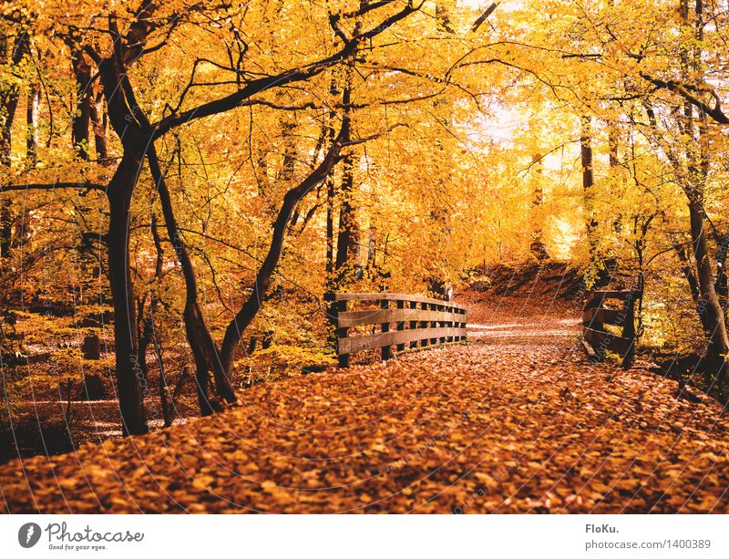 Autumn in the forest Environment Nature Landscape Beautiful weather Tree Leaf Forest Traffic infrastructure Lanes & trails Bridge Natural Warmth Yellow Gold
