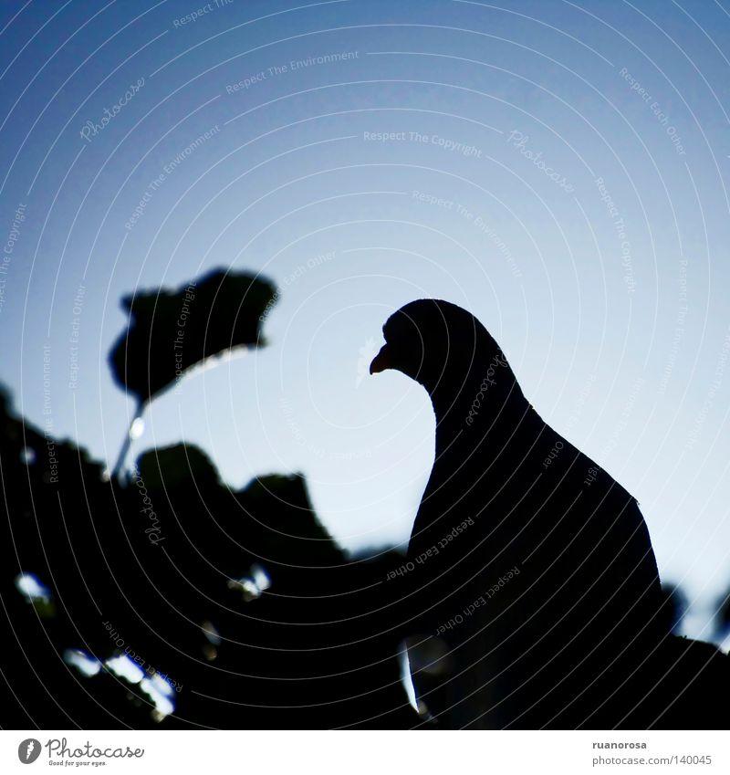 Streptopelia Pigeon Tree Leaf Light Black Dark Pierce Animal Bird Park Turteltaube schrägeinfallendes Licht Shadow Blue Graffiti ruanorosa Elegant streptopelia