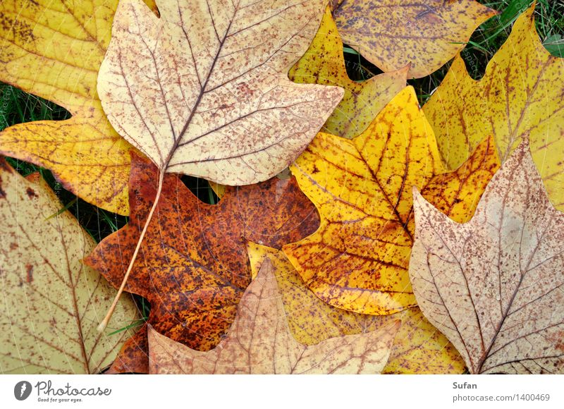 Nature Plant Beautiful Leaf Calm Environment Yellow Autumn Gray Brown Orange Park Gold Transience Change To fall