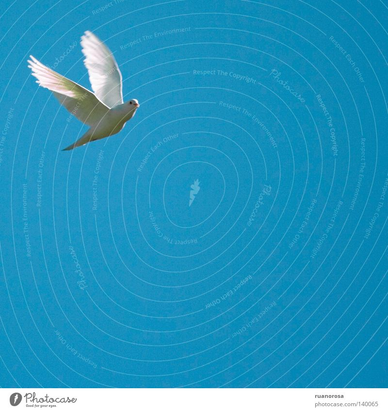 White Blue Animal Life Bird Flying Speed Might Peace Feather Wing Pure Pigeon Checkered Graceful Articulated