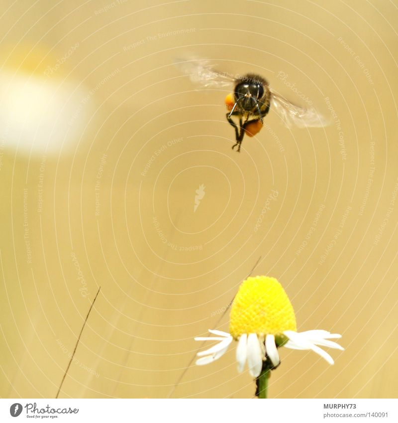 White Flower Black Animal Yellow Blossom Wing Insect Bee Airplane landing Pollen Honey Stamen Chamomile Nectar