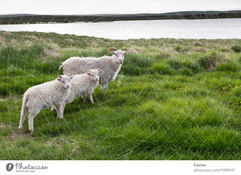 sheep Nature Landscape Grass Meadow Animal Farm animal Pelt Sheep 3 Group of animals Herd Animal family Looking Stand Cool (slang) Flock sheep's wool Wool