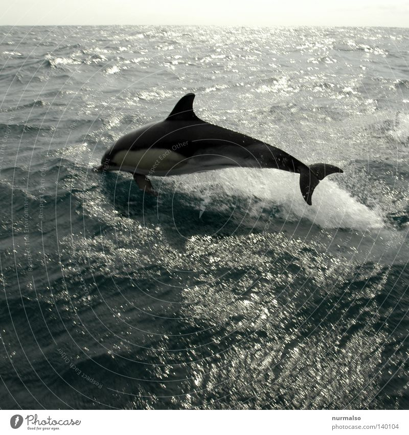 Nature Beautiful Ocean Animal Calm Playing Emotions Freedom Jump Horizon Swimming & Bathing Waves Wind Free Speed Whale