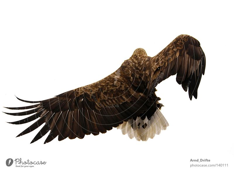 Eagle Sky White Ocean Cold Bright Power Bird Flying Large Force Aviation Feather Norway Fjord Arctic Ocean