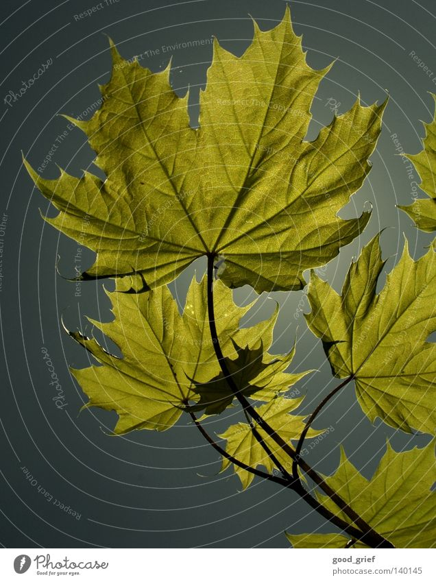 leaf in the sky Leaf Autumn Summer Sunbeam Gray Maple tree Maple leaf Tree Spring Pattern Vessel Blue Sky Structures and shapes