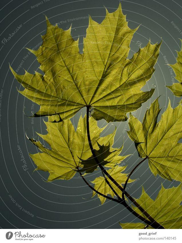 Sky Tree Blue Summer Leaf Autumn Spring Gray Vessel Maple tree Maple leaf