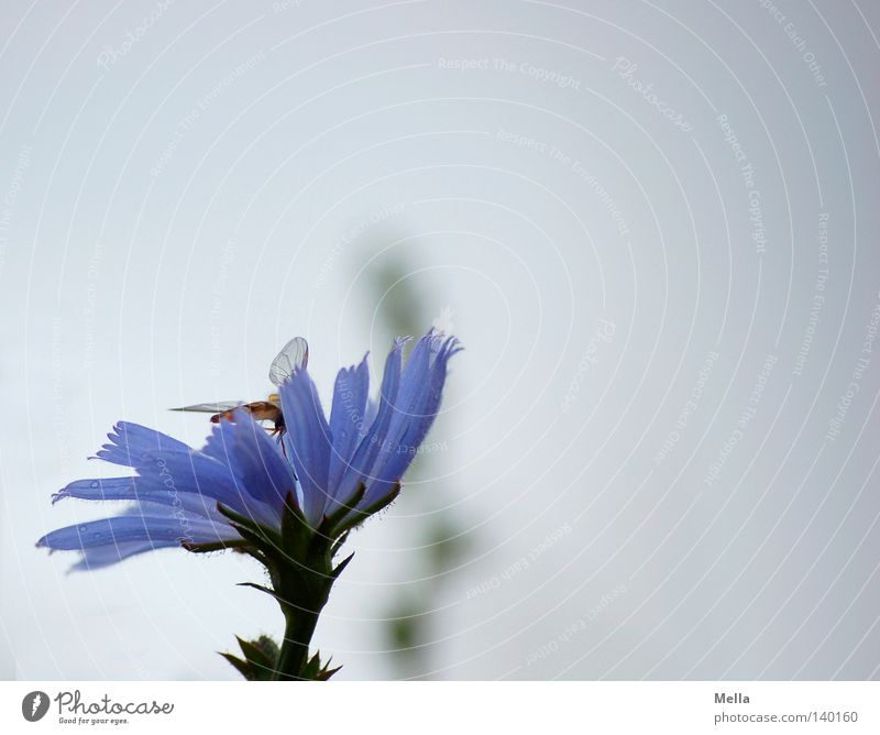 Sky Flower Blue Blossom Gray Bright Wing Insect Delicate Dreary Hover fly