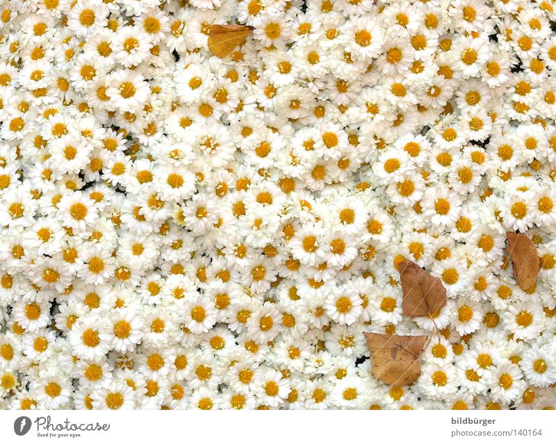 White Plant Flower Summer Joy Leaf Yellow Blossom Fresh Happiness Transience Delicate Infinity Dry Blossoming Bouquet