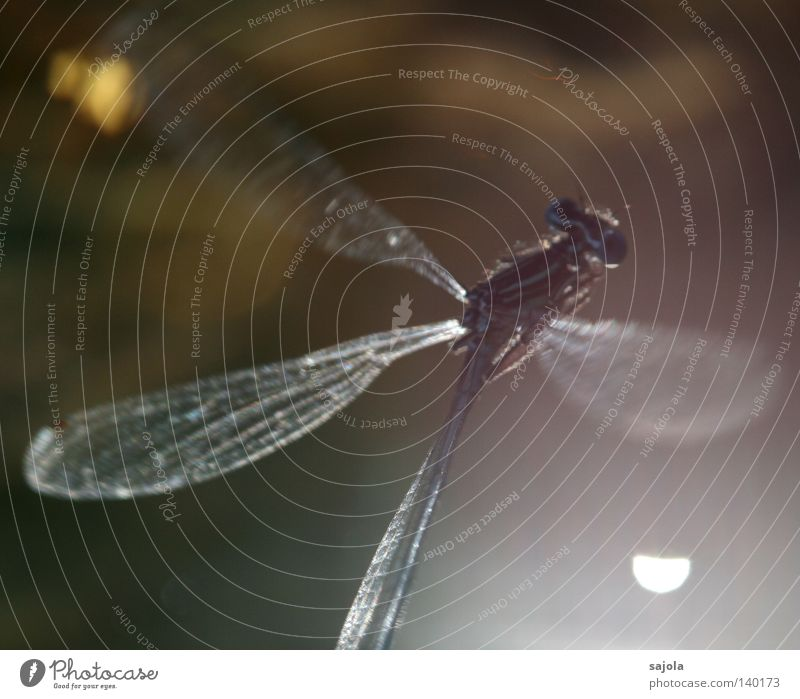 Veilful Animal Water Wing Thin Green Unclear Lighting Delicate Fine Small dragonfly Dragonfly Compound eye Eyes Legs Damselfly Europe Head Insect