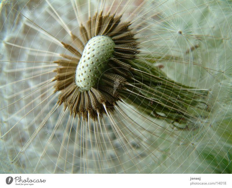 Stalk Dandelion Seed
