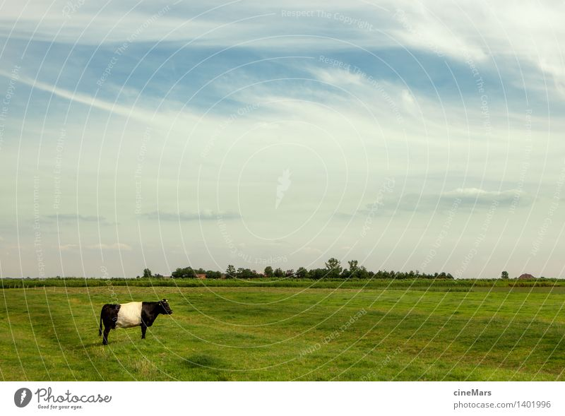 lonely individual Landscape Sky Clouds Summer Beautiful weather Grass Meadow Farm animal Cow Bullock 1 Animal Blossoming Think To feed Feeding To enjoy Stand