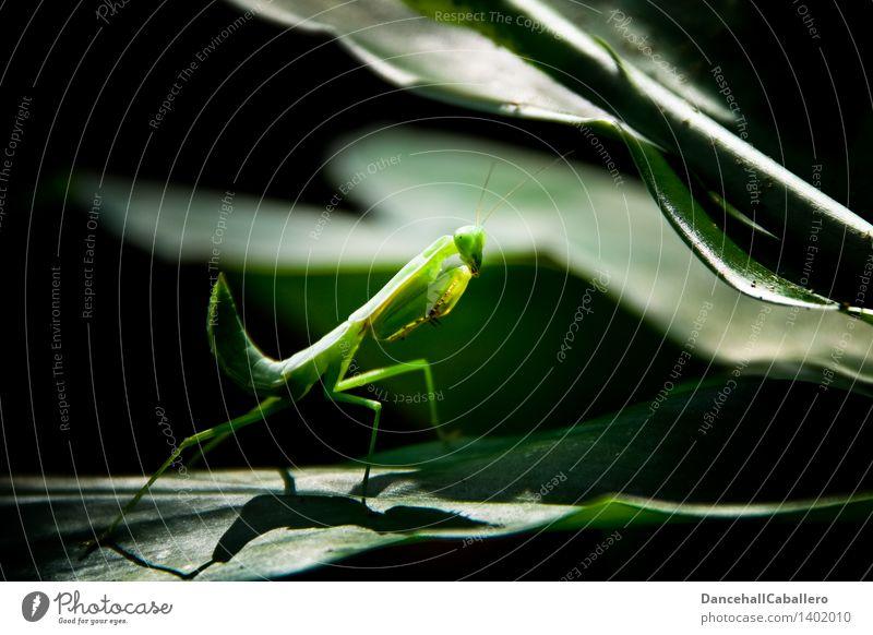 Plant Green Leaf Animal Elegant Insect Creepy Virgin forest Feeler Astute Praying mantis