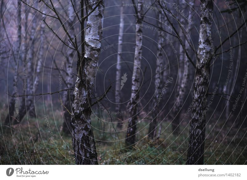 forest. Environment Nature Landscape Plant Autumn Climate Bad weather Fog Rain Tree Birch wood Birch tree Forest Threat Dark Creepy Cold Wet Natural Blue Green