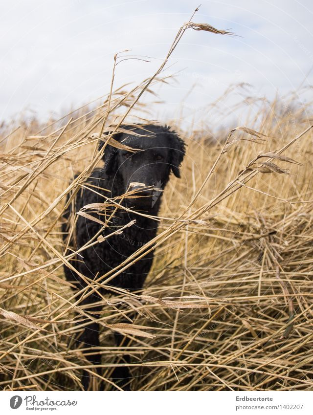 CAMOUFLAGE Animal Pet Dog retriever 1 Observe Black Love of animals Attentive Watchfulness Expectation Common Reed Nature Hound Winter Caution Timidity