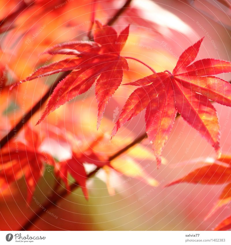 Autumn in Red Senses Nature Animal Plant Bushes Leaf Autumnal colours Maple branch Maple leaf Park Esthetic Exotic Warmth Orange Calm Hope Belief Design Life