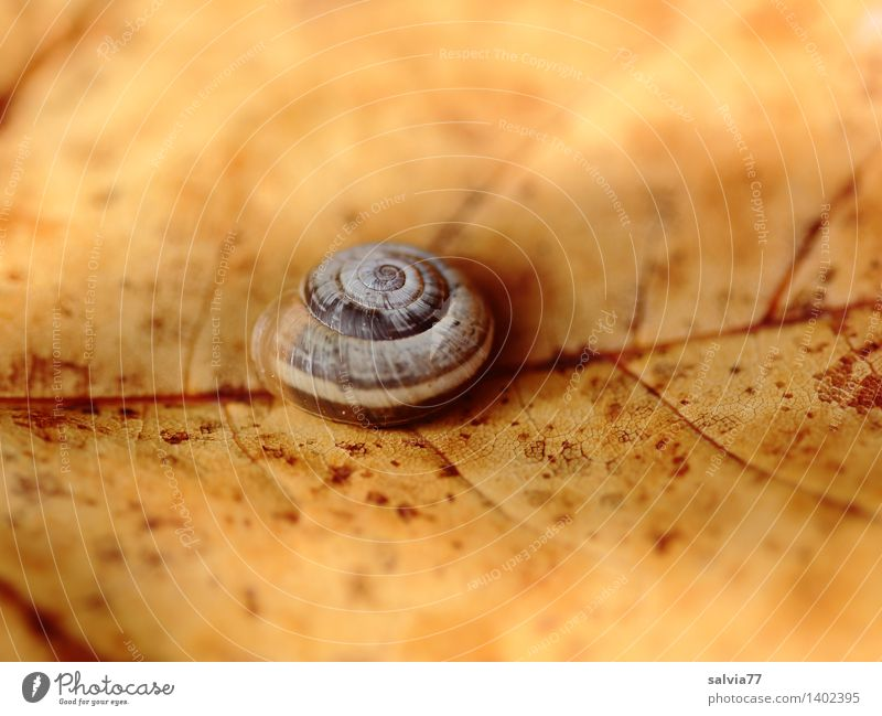 Empty Nature Plant Animal Earth Autumn Leaf Autumnal colours Garden Snail Snail shell Brown-lipped snail 1 Small Round Gloomy Dry Yellow Transience Change