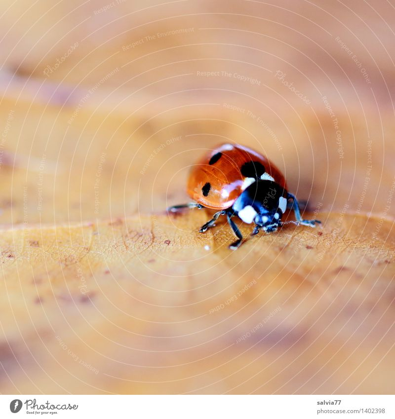 Search for Winterquartier Nature Animal Earth Autumn Leaf Rachis Beetle Animal face Ladybird Seven-spot ladybird Insect 1 Crawl Small Near Cute Beautiful Brown
