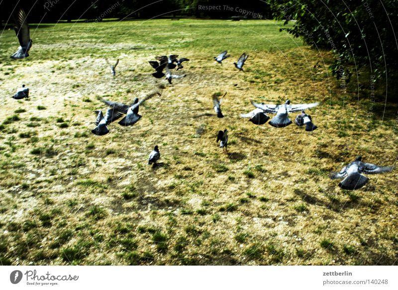 pigeons Pigeon Group Herd Flock of birds Flying Departure Beginning Escape Park Grass Meadow Bird Garden Summer