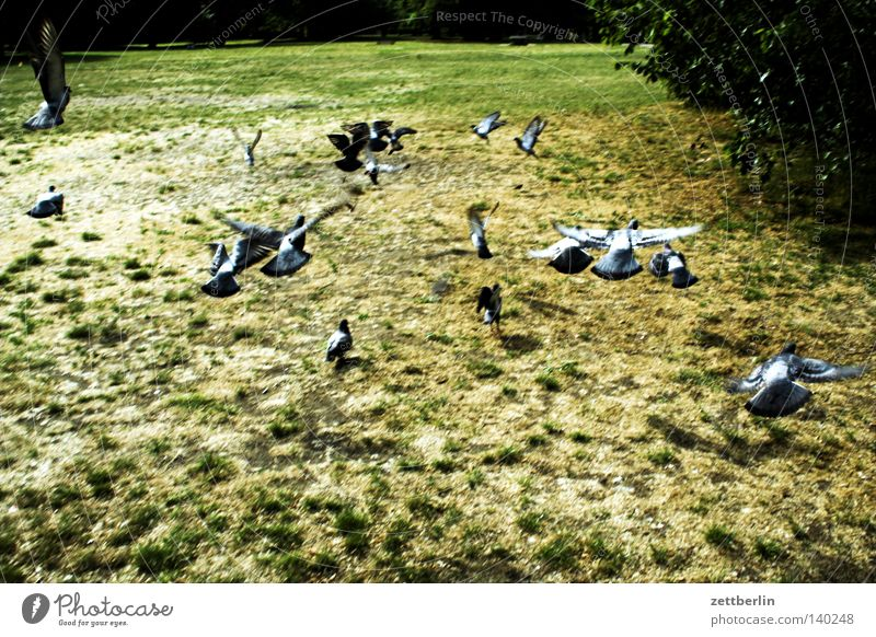 Summer Meadow Grass Garden Group Park Bird Flying Beginning Escape Pigeon Departure Herd Flock of birds