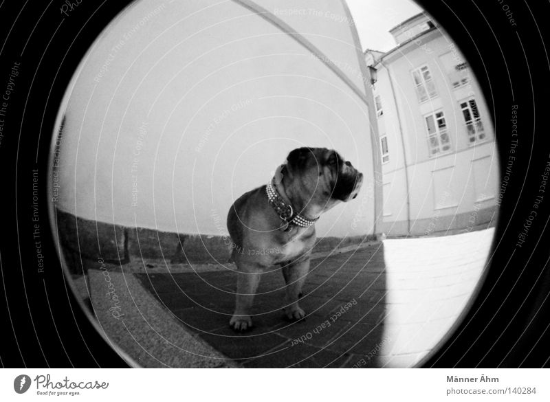 Dog with Style. Fisheye House (Residential Structure) Wall (building) Animal Town Bulldog English Window Sidewalk Mastiff Stand Mammal Black White Lomography