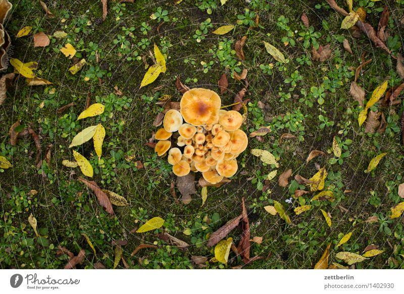 mushrooms real chanterelle chanterelle sponge rehling Chanterelle wobbly roe deer chanterelles cantharellus Garden Autumn Garden plot Colony Worm's-eye view