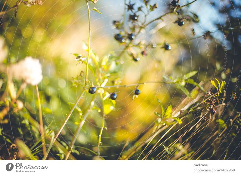 Blueberries? Style Design Environment Nature Earth Sky Sunlight Autumn Beautiful weather Plant Bushes Leaf Wild plant Berry bushes Berry seed head Berries