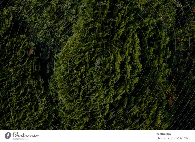 Thuja again Cypress pinales Hedge Garden Garden plot Garden allotments Neighbor Screening Perspective Looking Green Dark Structures and shapes Fir needle