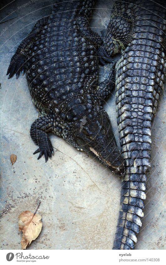 Cuddling handbags Crocodile Reptiles Leather Handbag Boots Footwear Zoo Dangerous Animal Pet shop Feeding Heat Goof off Observe Sleep Rest Aggressive