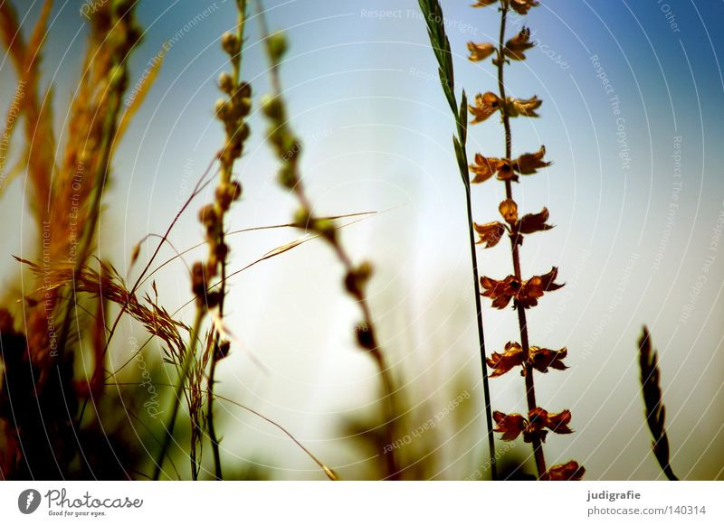 Nature Sky Plant Summer Colour Meadow Grass Warmth Environment Growth Physics Delicate Fine Ear of corn Flourish
