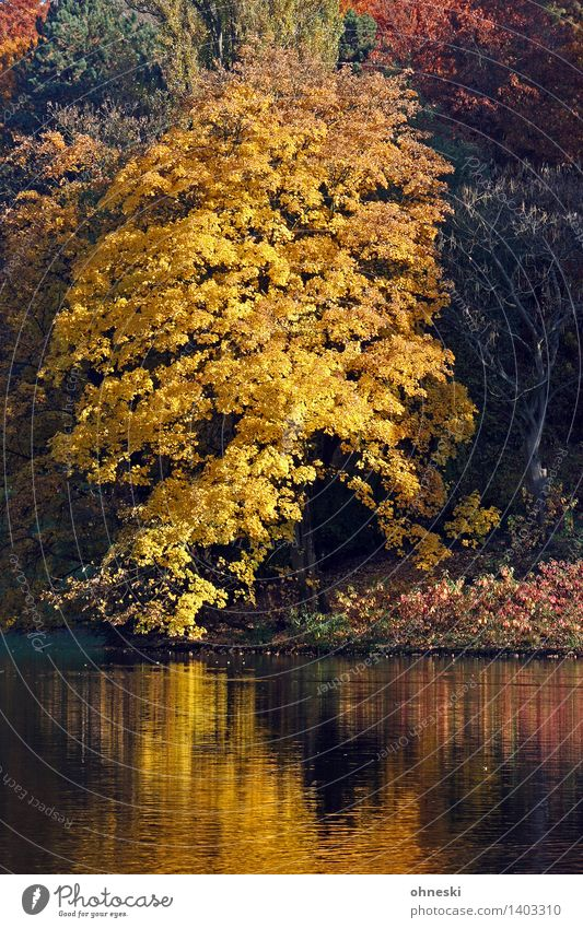 Tree Landscape Leaf Calm Yellow Autumn Natural Time Lake Park Idyll Gold Beautiful weather Warm-heartedness Lakeside Trust